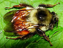 Bumblebee from Oregon - Bombus