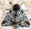 Brown, black & white moth - Harrisimemna trisignata