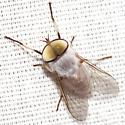 Horse Fly - Leucotabanus annulatus - male
