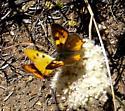 Hermes copper, is it female Thanks - Lycaena hermes - male - female