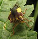 Tree hopper - Thelia bimaculata - male