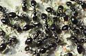 Tiny Ant Mob - Monomorium minimum