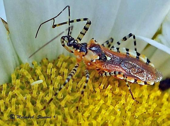 Assassin Bug - Pselliopus