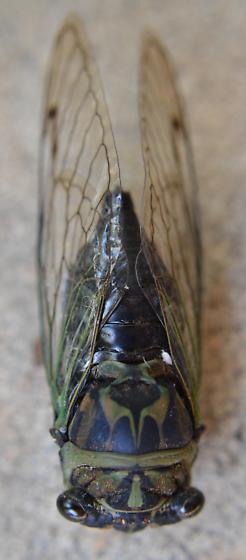 Annual Cicada - Neotibicen linnei - male