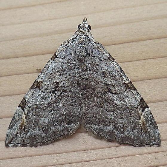 Geometridae: Aplocera plagiata - Aplocera plagiata