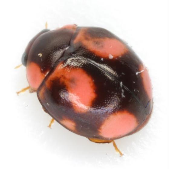 Hyperaspis - female