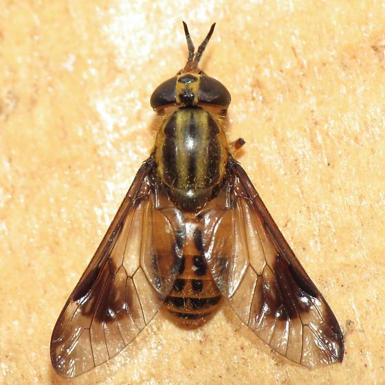 deer fly - Chrysops lateralis
