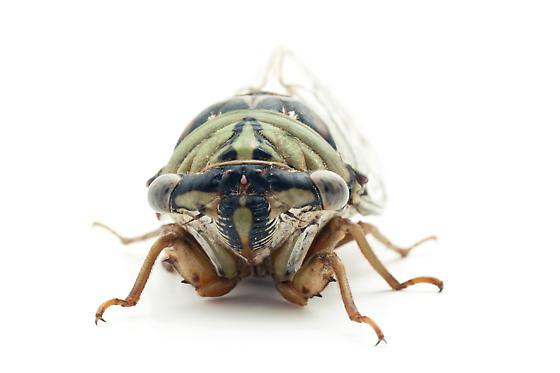 Dog Day Cicada - Megatibicen resh