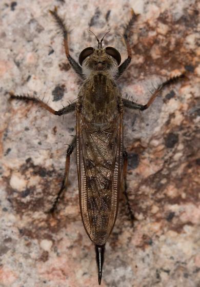 Female, Efferia albibarbis? - Efferia albibarbis - female