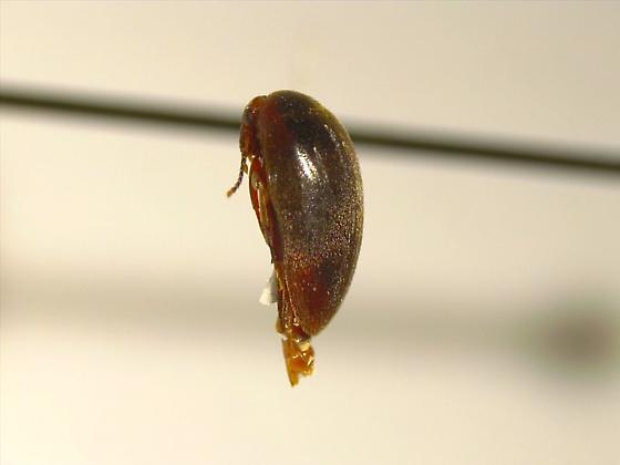 Eucinetus morio