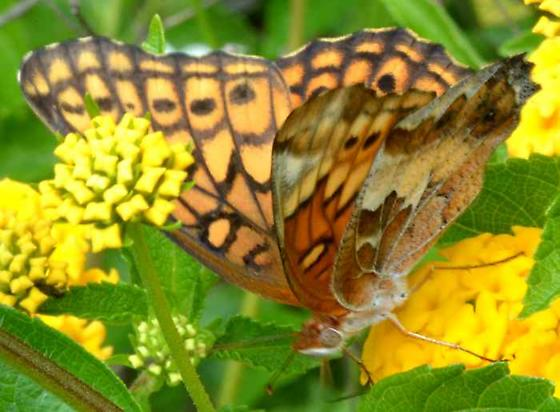 Butterfly - Euptoieta claudia