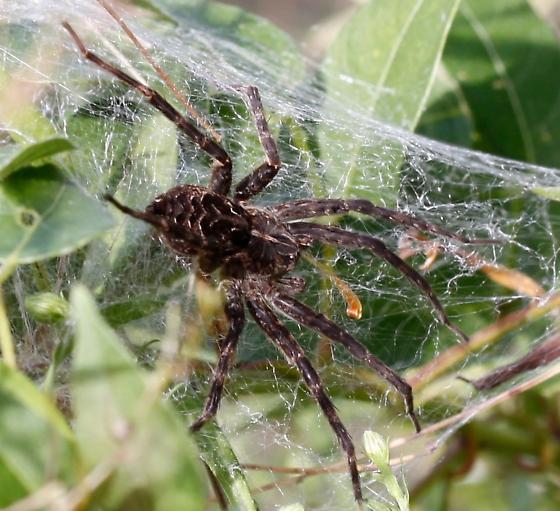 Grass Spider, maybe? - Dolomedes scriptus