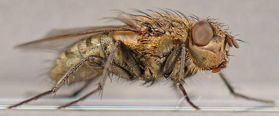Pollenia rudis? - Pollenia rudis - female