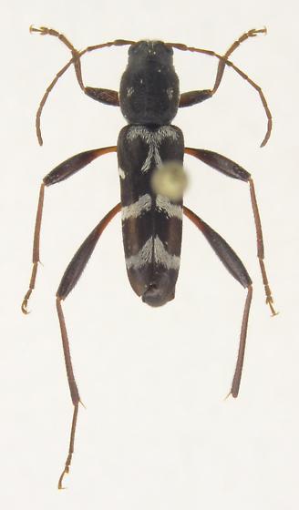 Neoclytus leucozonus - Neoclytus muricatulus - male