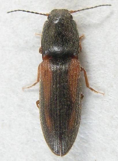 Limonius ornatulus - Athous imitans