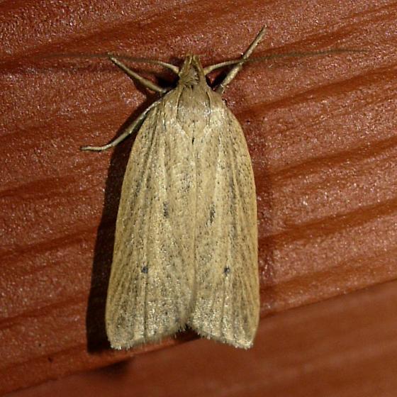 moth - Gonioterma mistrella