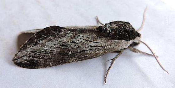 New Jersey Moth - Sphinx gordius