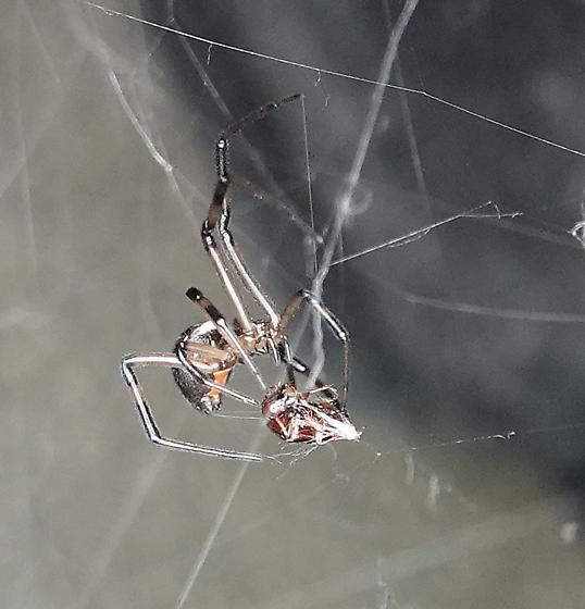 Brown widow--Latrodectus geometricus? - Latrodectus hesperus