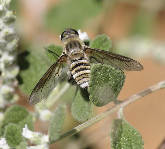 French Joe bee fly - Exoprosopa