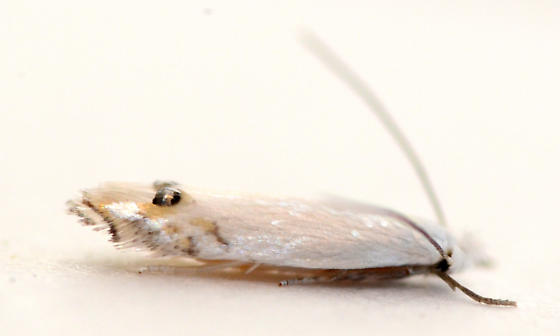 Leucoptera reared from Pachystima myrsinites - Leucoptera pachystimella