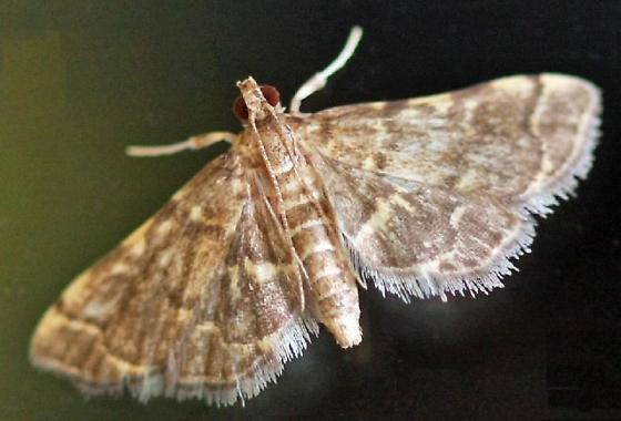 Tiny moth - Anageshna primordialis