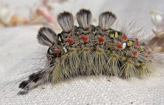 Orgyia caterpillar? - Orgyia vetusta