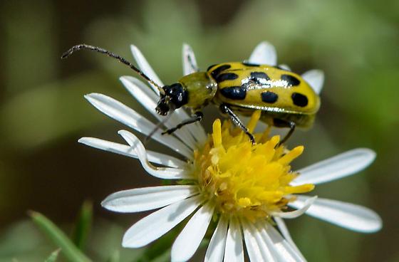 beetle091618 - Diabrotica undecimpunctata