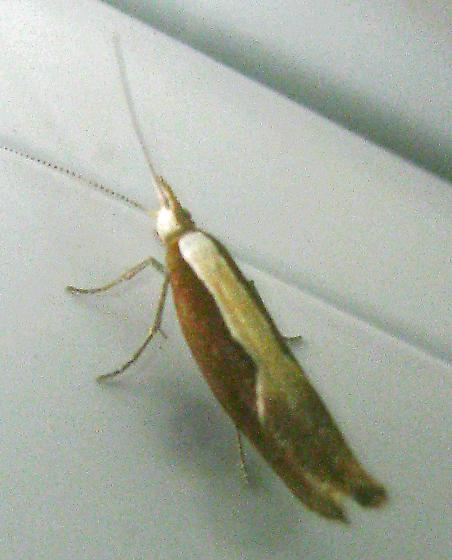 long thin moth - Ypsolopha dentella