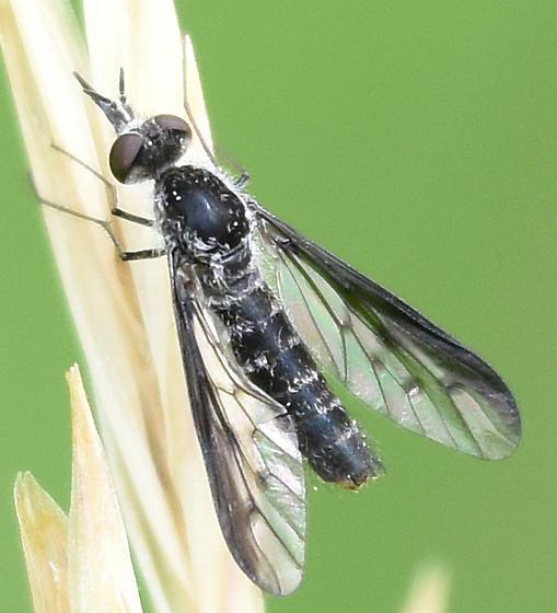 March Fly Like - Thevenetimyia - female