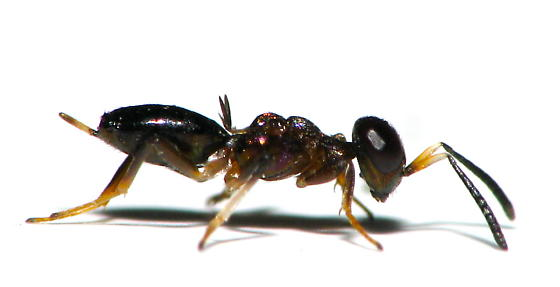New wasps have appeared! - Eupelmus dryohizoxeni - female