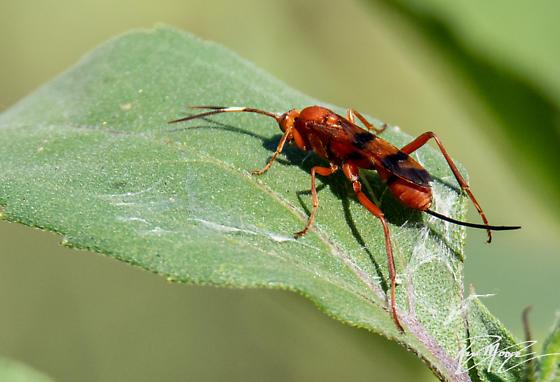 Ichneumon wasp - Compsocryptus sp? - Compsocryptus