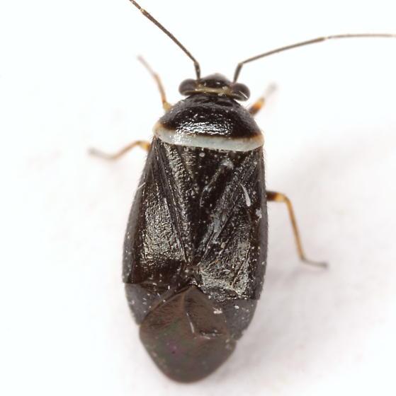 Scalponotatus albibasis (Knight) - Scalponotatus albibasis - female