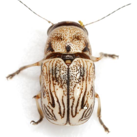 Pachybrachis sp (EGR 19) - Pachybrachis