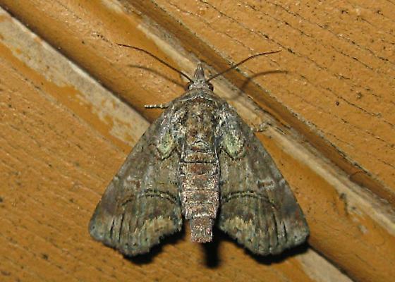Moth - Paectes pygmaea