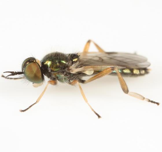 Orange-legged green soldier fly
