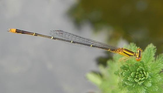 TX Yellow Damselfly species? - Enallagma signatum