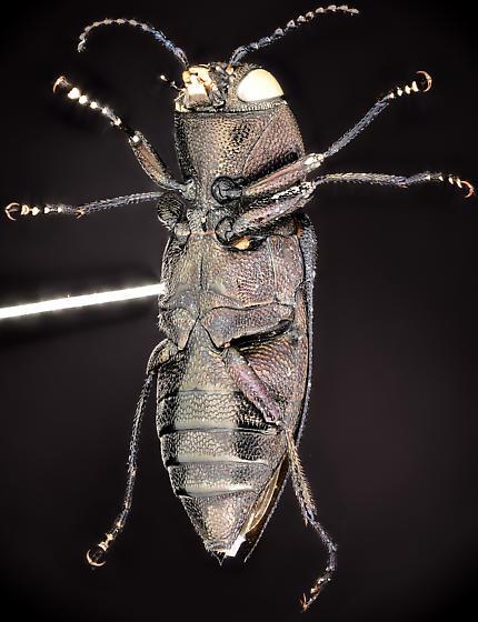 Beetle, ventral - Melanophila atropurpurea