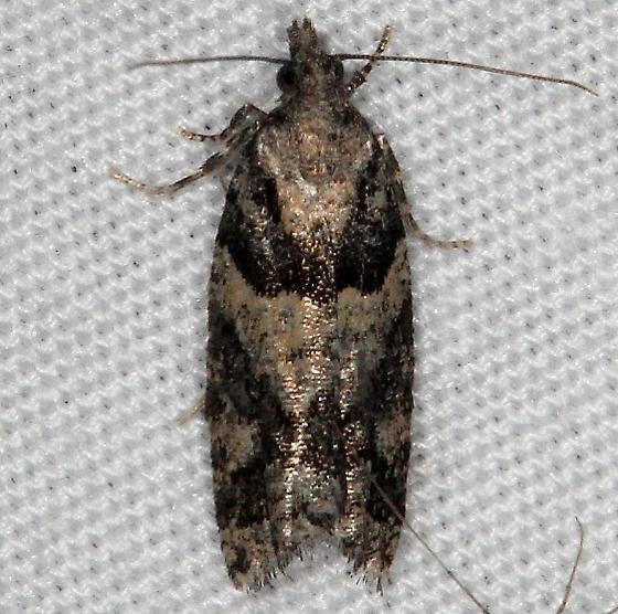 moth - Epinotia radicana