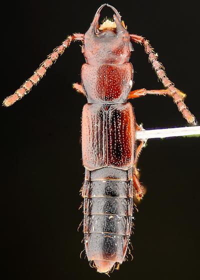 Siagonium punctatum male, dorsal - Siagonium punctatum - male