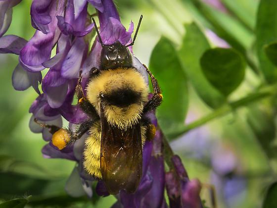 Yellow Bumble Bee -Bombus fervidus? - Bombus fervidus - female