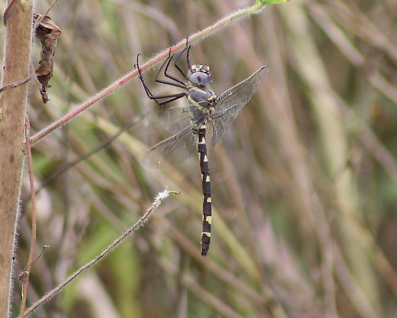 Macromia annulata - Bronzed River Cruiser - Macromia annulata
