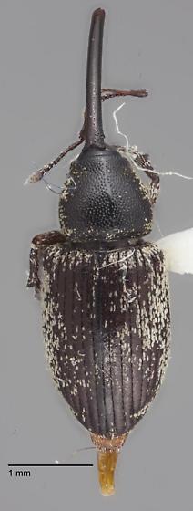 Curculionidae 7 - Smicronyx