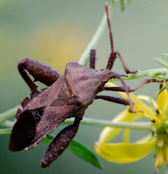 Leaf-footed bug? - Piezogaster