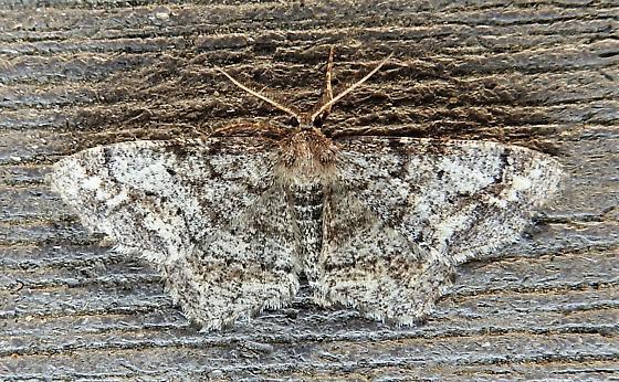 911077 – 6656 – Hypagyrtis piniata – Pine Measuringworm - Hypagyrtis piniata