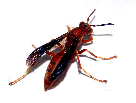 red wasp polistes carolina bugguide net