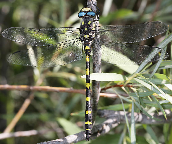 Large yellow and black dragonfly - Cordulegaster dorsalis - male
