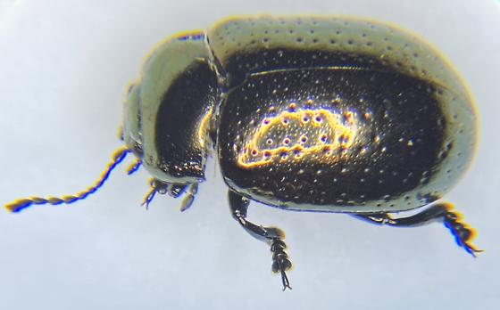 CHRYSOMELIDAE  Chrysolina hyperici? St. Johnswort beetle - Chrysolina