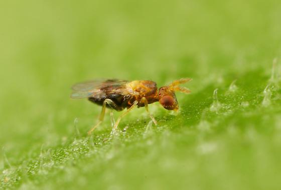 Wasp ID - Burksiella