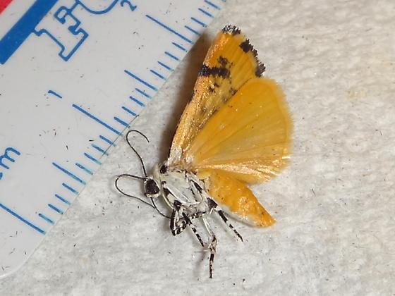 Unknown Moth 6 - Tarache idella