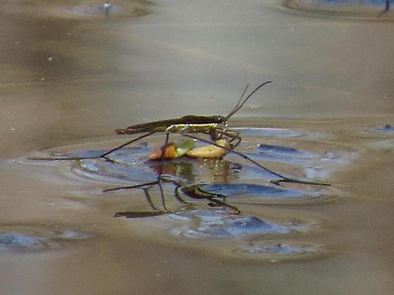 Water Strider??
